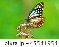 アサギマダラ 45541954