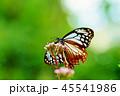 アサギマダラ 45541986