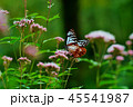アサギマダラ 45541987