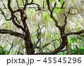 白藤 藤棚 花の写真 45545296