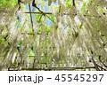 白藤 藤棚 花の写真 45545297