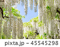 白藤 藤棚 花の写真 45545298