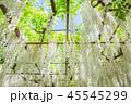 白藤 藤棚 花の写真 45545299