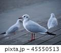 ユリカモメ 鳥 野鳥の写真 45550513