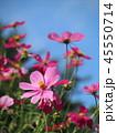 花 ピンク コスモスの写真 45550714