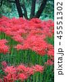 巾着田 秋 花の写真 45551302