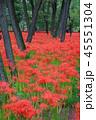 巾着田 秋 花の写真 45551304