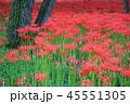 巾着田 秋 花の写真 45551305