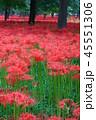 巾着田 秋 花の写真 45551306