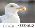 カモメ 鳥 海鳥の写真 45554612