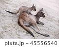 オーストラリア 自然 景色 朝焼け タスマニアンデビル コアラ カンガルー 45556540