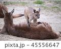 オーストラリア カンガルー 海外 ミーアキャット 45556647