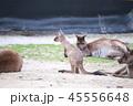 オーストラリア カンガルー 海外 ミーアキャット 45556648