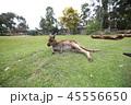 オーストラリア カンガルー 海外 ミーアキャット 45556650