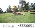 オーストラリア カンガルー 海外 ミーアキャット 45556651