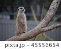 オーストラリア カンガルー 海外 ミーアキャット 45556654