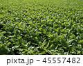 大根 畑 野菜の写真 45557482