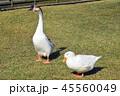 ガチョウとアヒル 45560049