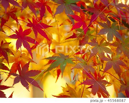 鮮やかな紅葉 45568087