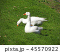 鳥 ガチョウ グースの写真 45570922