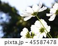コスモス 花 コピースペースの写真 45587478