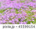 芝桜 芝桜畑 花畑の写真 45599154