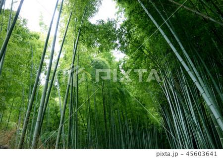 日本 京都 緑の竹藪 竹林 Japan Kyoto green bamboo forest 45603641