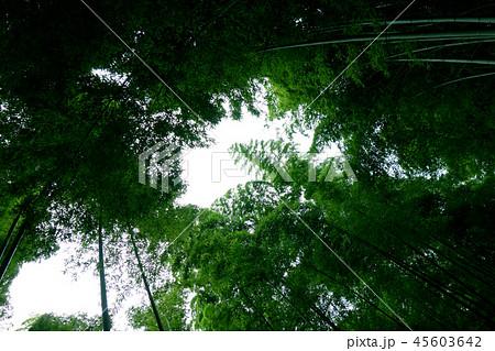 日本 京都 緑の竹藪 竹林 Japan Kyoto green bamboo forest 45603642