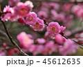 梅 紅梅 花の写真 45612635