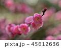 梅 紅梅 花の写真 45612636
