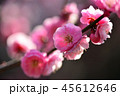 梅 紅梅 花の写真 45612646