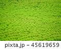 グリーンのコキア 45619659