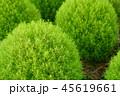 グリーンのコキア 45619661