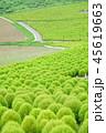 グリーンのコキア 45619663