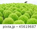 グリーンのコキア 45619687