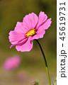 コスモス 花 桃色の写真 45619731
