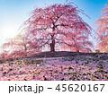 春 花 梅の写真 45620167