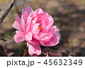 牡丹 花 アップの写真 45632349