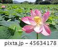 古代大賀蓮の花 45634178