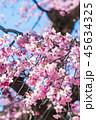 桜 春 花の写真 45634325