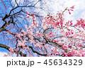 桜 春 花の写真 45634329