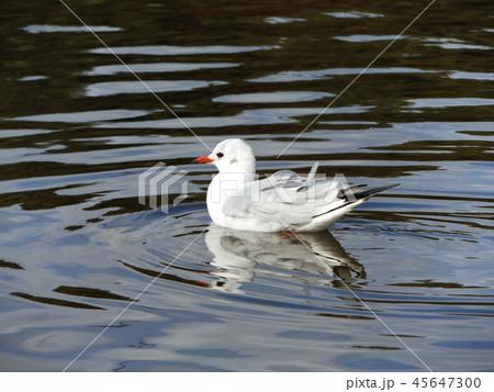 稲毛海浜公園の池に来た冬の渡り鳥ユリカモメ 45647300
