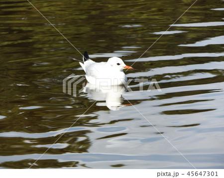 稲毛海浜公園の池に来た冬の渡り鳥ユリカモメ 45647301