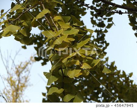 黄色に色付いた大きなイチョウの黄葉 45647945