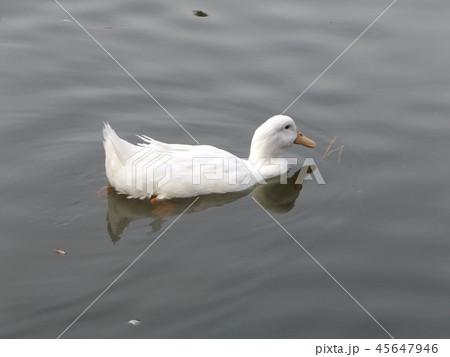 悠々千葉公園の池を泳ぐアヒル 45647946