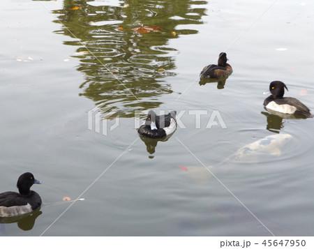 千葉公園綿打池のキンクロハジロ 45647950