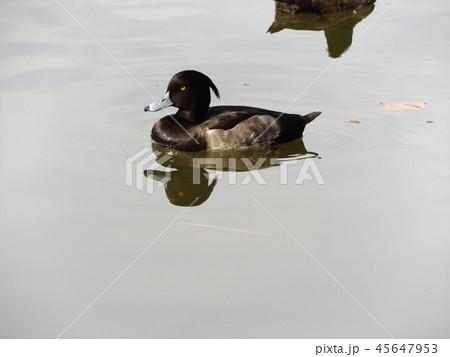 千葉公園綿打池のキンクロハジロ 45647953