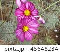秋の花コスモスの桃色の花 45648234