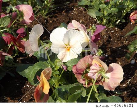年明けまで咲き続けるパンジーの白い花 45656201
