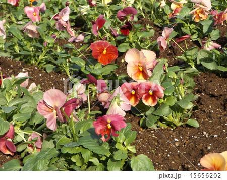 年明けまで咲き続けるパンジーの赤と桃色の花 45656202